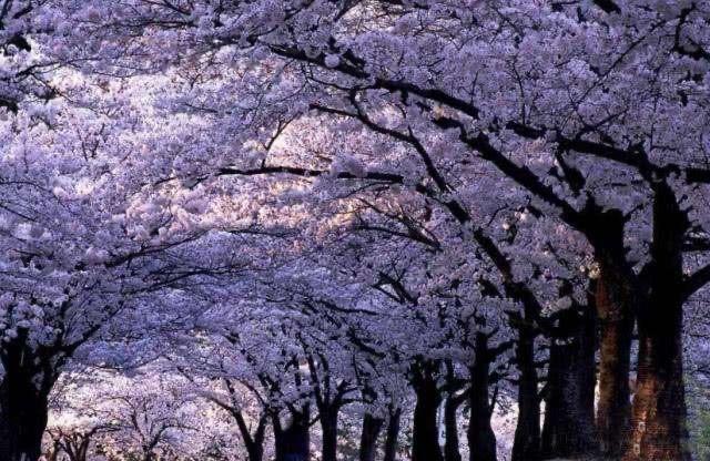 又是一年春来到,又是一年樱花开,武大樱花相继绽放,没有任何寒冬不可逾越,没有一个春天不会到来,今年我们网络相聚武汉,共赏武汉樱花之美。
