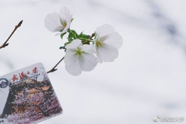 特地看了一下武汉的天气,20度上下确实和春天差不多奥~武汉人好幸福,一年看两次樱花~
