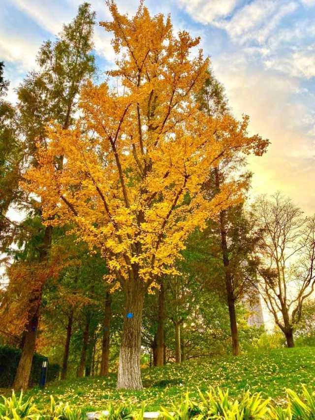 这也是李小璐在被新华社点名后,第一次在微博上发表动态。一棵树叶全黄了的的大树下落满了树叶和绿色的草地、旁边郁郁葱葱的绿树成了鲜明的对比。不知道是不是在暗示着什么心情,还是因为看到如此鲜明的对比联想到自己从前众星捧月现在人人喊打的局面触景生情了呢不过从她有勇气展现自己开始,似乎在慢慢的走出来了……