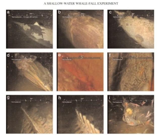 """鲸落其实就是指鲸鱼死后沉入海底的一个过程,有资料显示,沉入海底的鲸鱼尸体会被上万个生物吃掉,甚至出现新的物种。鲸落大致分为几个阶段:1.刚死亡不久时,以腐肉为生的动物会聚集:2.几个月后,尸体大部分骨骼化,但是头部和脂肪组织仍然存在;3.一年半后,尸体周围出现各种生物,贻贝数量居多;4.两年半到三年半后,鲸鱼尸体的物种丰富度较高(1.5年、2.5年和3.5年分别为44、56和85个类群)这也就是为什么会有""""一鲸落,万物生""""的说法由来。而为什么我们会发现鲸落这么惊喜呢?那是因为科学家没办法预测哪一条鲸鱼要在什么时候要在哪里死亡,也没有办法满南海的去找,所以观察鲸落是一个特别随缘的项目。"""