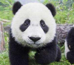 其实树懒虽然叫名字中带个懒字,但其实并不是世界上最懒的动物。10. 大熊猫:每天睡眠 10 个小时大熊猫一天就干着两件事情:睡眠和饲料。经过漫长的一天啃食了竹子之后呢,大熊猫就喜欢爬上树睡觉打呼,你看这个图上的样子,再看看熊猫那憨厚胖胖的样子一看就知道他到底有多懒了。9. 针鼹:每天睡眠 12 小时多刺食蚁兽,也被称为针鼹鼠,虽然它们并不像树懒一样懒惰,但他们也是移动的非常缓慢的动物,它们是独居动物,不喜白天太阳的热量,也许这就是他们睡觉这么多的原因。8. 松鼠:每天睡眠 14 小时其实松鼠这敏捷的动物也有偷懒的一面。松鼠爱睡觉,因为他们的饮食中含有丰富的碳水化合物,蛋白质和脂肪。这些毛茸茸的动物通常睡在充满了毛皮的细枝和树叶上,里面还有羽毛或其他柔软的材料等。7. 狐猴:每天睡眠 16 小时白天,狐猴是看起来很独立的生物,悠哉悠哉的过他们自己的日子。然而,到了晚上,他们常常集体睡在一起,看起来懒洋洋的。6. 猫头鹰猴:每天睡眠 17 小时猫头鹰猴是一个真正的懒惰动物,它们习惯昼伏夜出的生活。白天睡眠 17 小时后,它们在夜间大多都是生龙活虎的。5. 负鼠:每天睡眠 18-19 小时负鼠都是爱缓慢移动的生物,适应任何地方的食物,水和庇护所在的环境。这也适用于他们的睡眠状态,只要他们睡觉的地方是黑暗的并且是相对隐蔽的。4. 犰狳:每天睡眠 18-20 小时犰狳是在晚上最活跃,所以他们花费一天大部分的时间来睡觉。但科学家们仍然没有想出为什么这些动物是太困了还是因为他们就是这么懒惰的动物。3. 棕蝠:每天休眠 20 小时你能想像每天只有 4 小时保持清醒?那简直是啥都干不了了。2. 树懒:每天睡眠 20 小时树懒,可以说是在动物王国中最懒的动物之一。树懒基本上一生都是挂在树上生活的。他们所做的一切,甚至包括睡觉到分娩。就算树懒在移动的时候也是挂在树上缓慢移动的。1. 考拉:每天睡眠 22 小时考拉吃的东西热量很大,所以为了消化这一切,考拉一天中 75%的时间都是在树上打瞌睡。整个生活的在梦乡花费超过考拉一生的 80%,这也难怪考拉将被视为世界上最懒的动物。