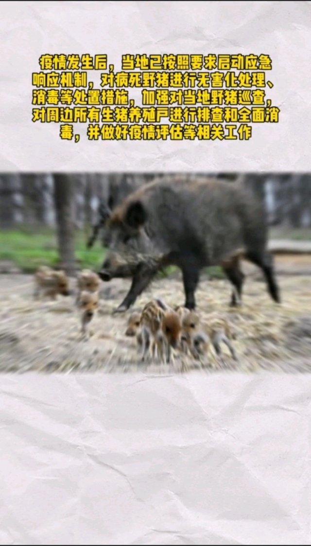 【猪事不顺,湖北神农架发现发生野猪非洲猪瘟,已死7头野猪】网友感叹:湖北啊,你太难了!